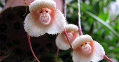 """""""Мајмунски орхидеи"""""""