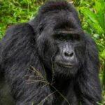 Уганда: 11 години затвор за убиец на редок вид горила
