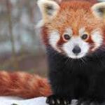 Редок вид на црвена панда се родила во Зоолошката градина во Берлин